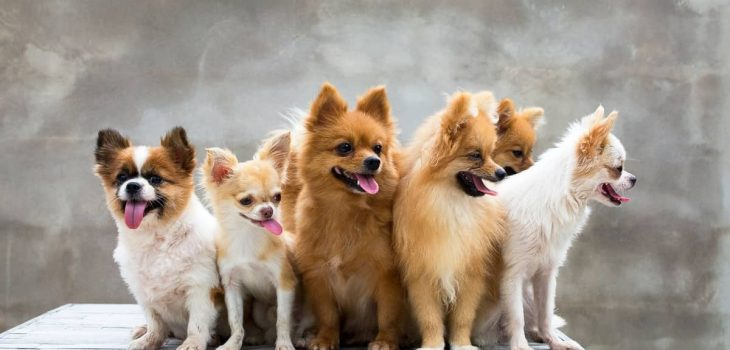 What Is A Group Of Chihuahuas Called and Other Chi Questions