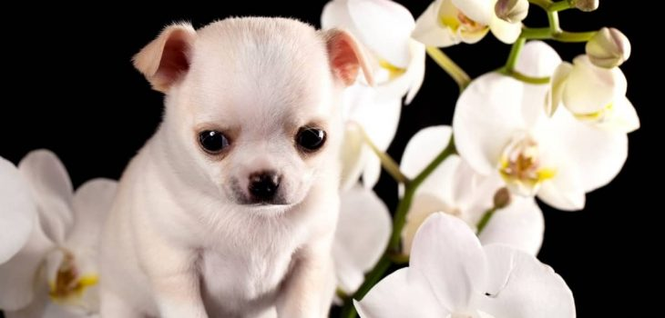 When Do Chihuahua Puppies Ears Stand Up - Bye-Bye To Floppy Ears